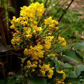 MAHÓNIA CEZMÍNOLISTÁ /Mahonia aquifolium/