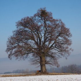 oblíbený strom