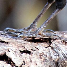Pózus Turdus Merulas