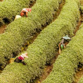 Sbírání čaje