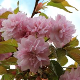 Jaro v růžové