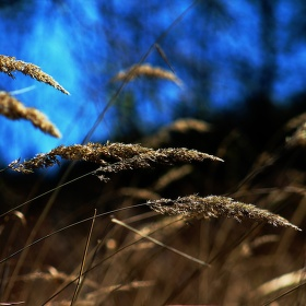 Spring background with golden grass
