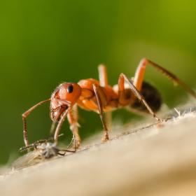 Formica exsecta (Mravenec pastvinný)