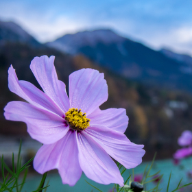 Alpská květina