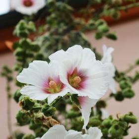 V plném květu