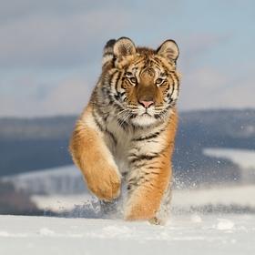 Ve znamení tygra