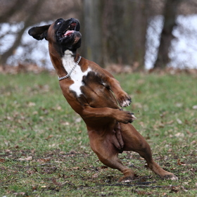 Boxer v akci