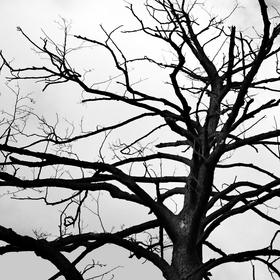 jako suchý starý strom...