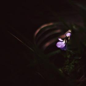 fialkové snění