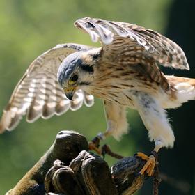 Poštolka pestrá (Falco sparverius) v LP