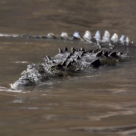 predátor na Rio Tarcoles