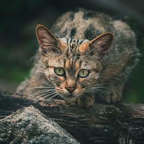 Kočka evropská divoká