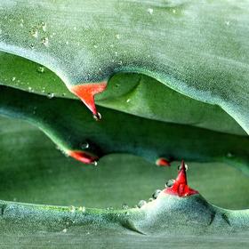 Aloe....