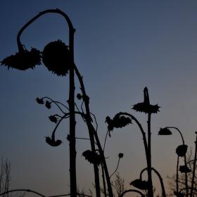 Smutné slunečnice