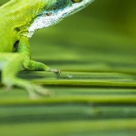 Zelená Zvědavka