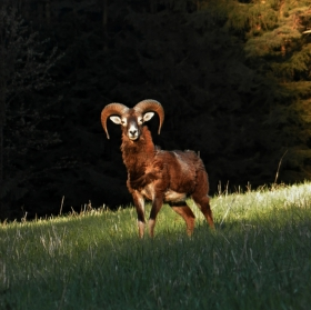 Muflon - druhá fotografie z celkem povedené série.