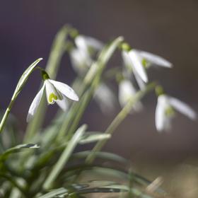 Sněženky vítají jaro