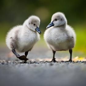 Na procházce (labuť černá)