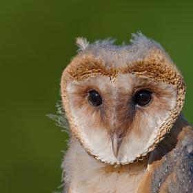 Portrét mladé Sovy Pálené (Tyto alba)