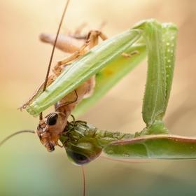 Modlivka vs cvrček