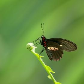 Papilio anchisades