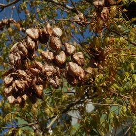 Malý obrazový atlas rostlin: Svítel latnatý