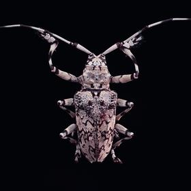 Tesařík - Ancylonotus tribulus hieroglyphicus