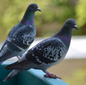 Holubí fotopříběh aneb vypěstuj si svého holuba