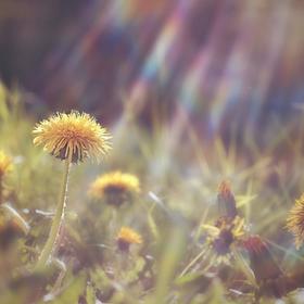 Květ heliosovky