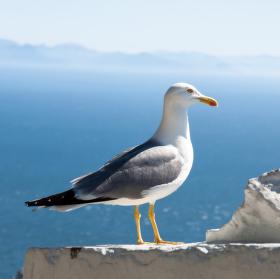 racek na Gibraltaru