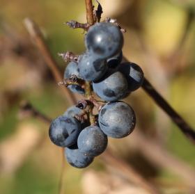 Vinobraní v Nesuchyni na rakovnicku.
