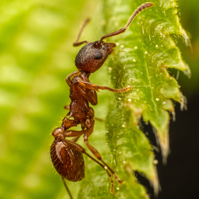 Mraveneček na lístku lísky obecné