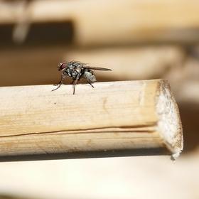 Opalovačka i moucha vegetí