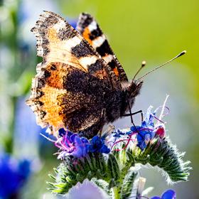 Letní motýlí.