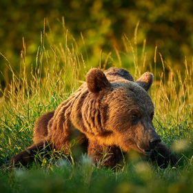 Medvěd hnědý - Ursus arctos - Brown Bear