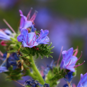 Nějaká modrá kytička