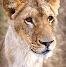 Lví portrét
