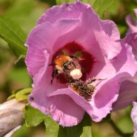 Včely na ibišku