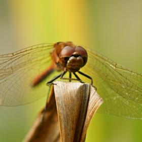 Pózující vážka