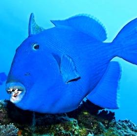Ostenec modrovlnkatý