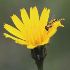 Hmyz na pampelišce :)