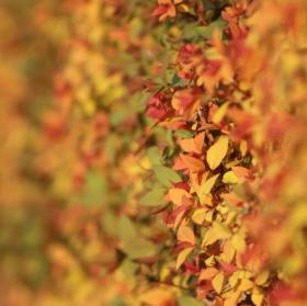 Podzimní keřík