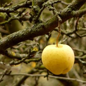 Poslední jablko