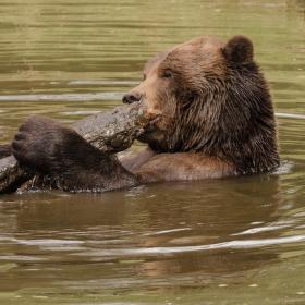 Medvědí hrátky