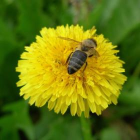Včela při práci