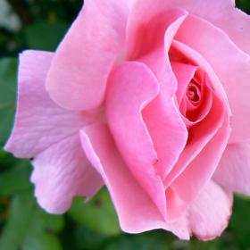 Jen růžová to může být