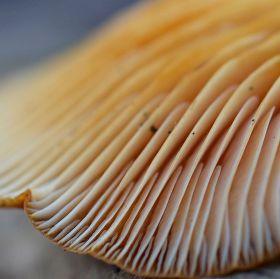 Hele houbá