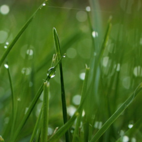 S ranní rosou táhnou do polí