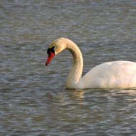 Labuť při hledání potravy