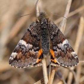 Černoproužka březová  (Archiearis parthenias L.)